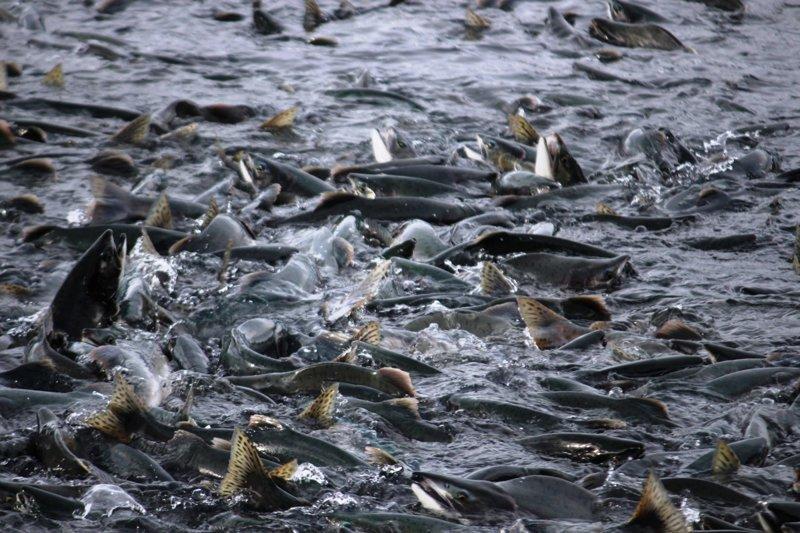 Выращенные в неволе лососи эпигенетически отличаются от своих диких родственников интересно, мир, природа, удивительное, факты