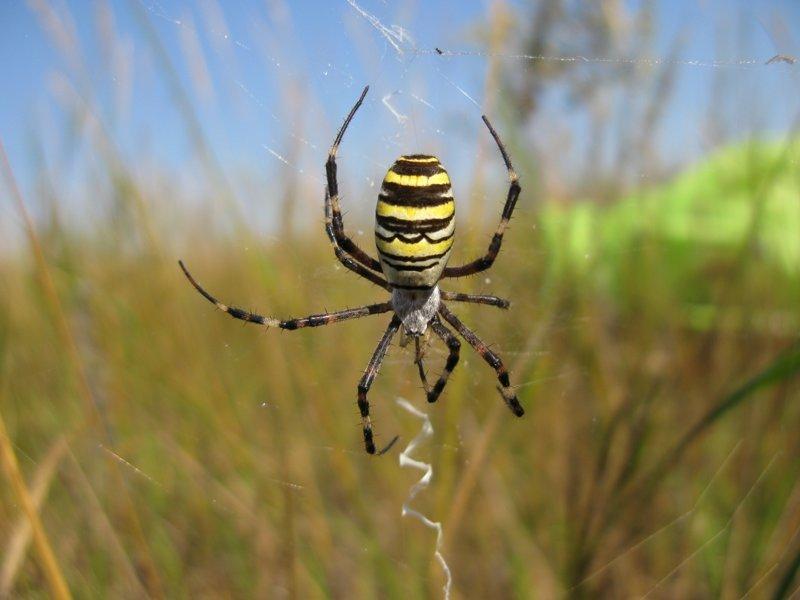Паутина паука-аргиопы привлекает насекомых запахом интересно, мир, природа, удивительное, факты