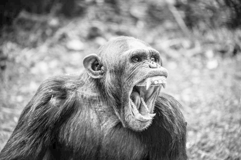 Предупреждая сородичей об опасности, шимпанзе учитывают степень информированности слушателей интересно, мир, природа, удивительное, факты