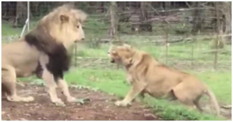 Львица приревновала льва к другой самке видео, животные, лев, львица, прикол, реакция, ревность