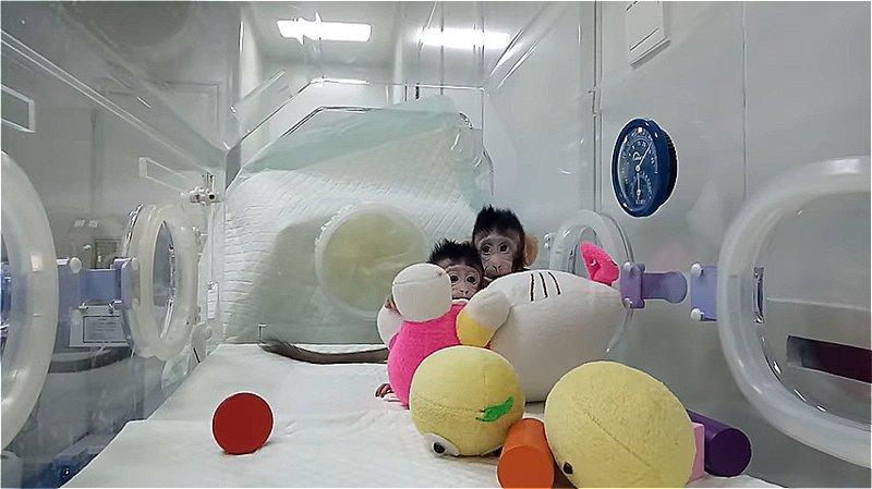 В Китае научились клонировать мартышек. На очереди человек? китай, клон, клонирование, клоны, макаки, наука, открытие, прорыв в науке