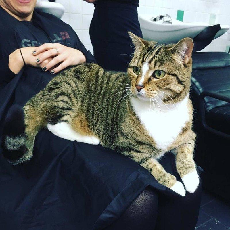 «Она — настоящая звезда!» — говорит «мама» Бетти Бу и хозяйка салона Крис Гуглелми. «Многие люди приезжают к нам издалека, чтобы увидеть её»   австралия, животные, кот, лапы, милота, парикмахерская, работа