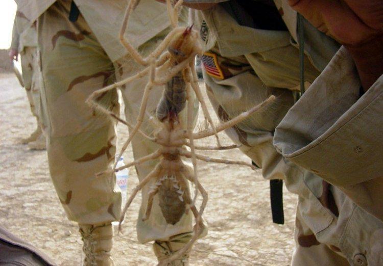 Гигантские иракские верблюжьи пауки вырастают до размеров блюда газетные утки, дутые сенсации, истории, непроверенные факты, фальшивки, фальшивые новости, фото, фотограии