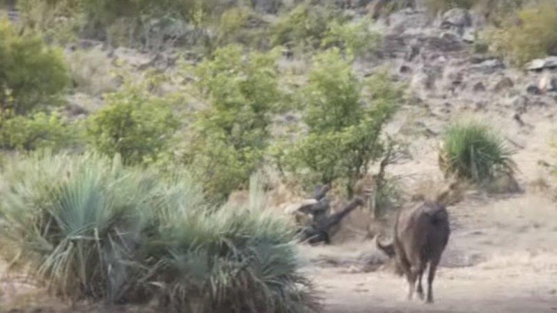 Буйволы в ЮАР спасли слоненка от львов ynews, африка, видео, животные, новости, слоны, спасение