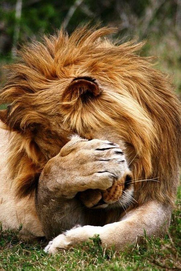 Приколы с львом картинки