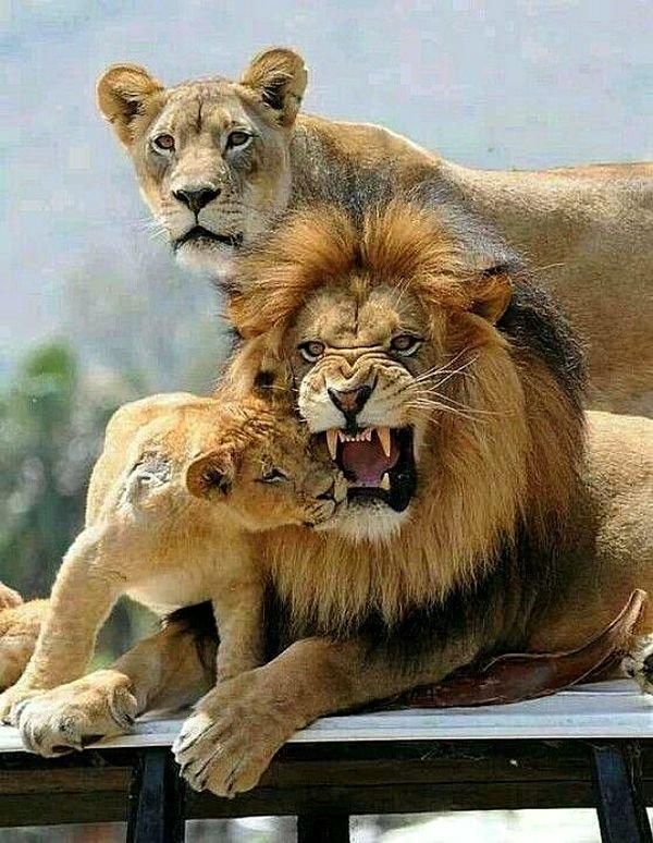 Семья львов животные, звери, фотографии