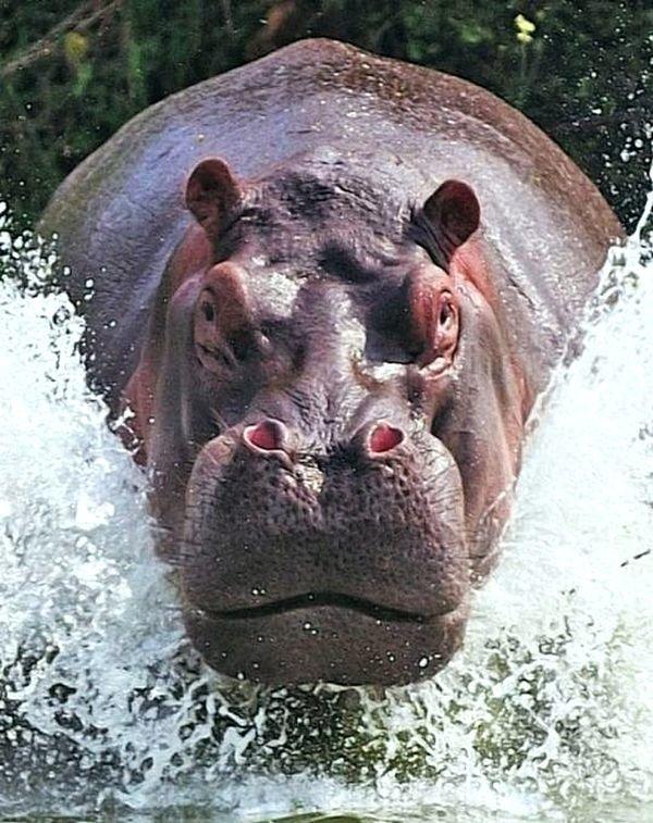 Забавные картинки бегемотов