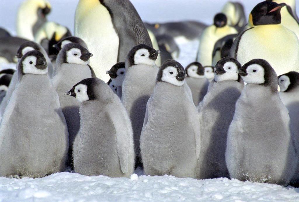 детеныш пингвина фото моде