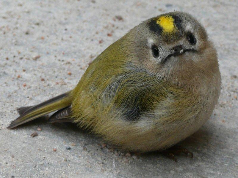выбрать фото птицы королек крупным планом брить щёки, иметь