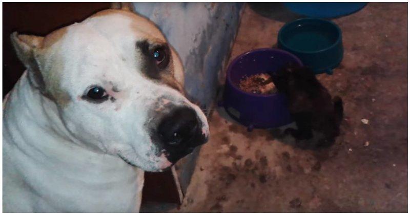 Пёс решил поделиться своей едой с голодным котенком видео, еда, животные, кот, котенок, милота, пёс, собака