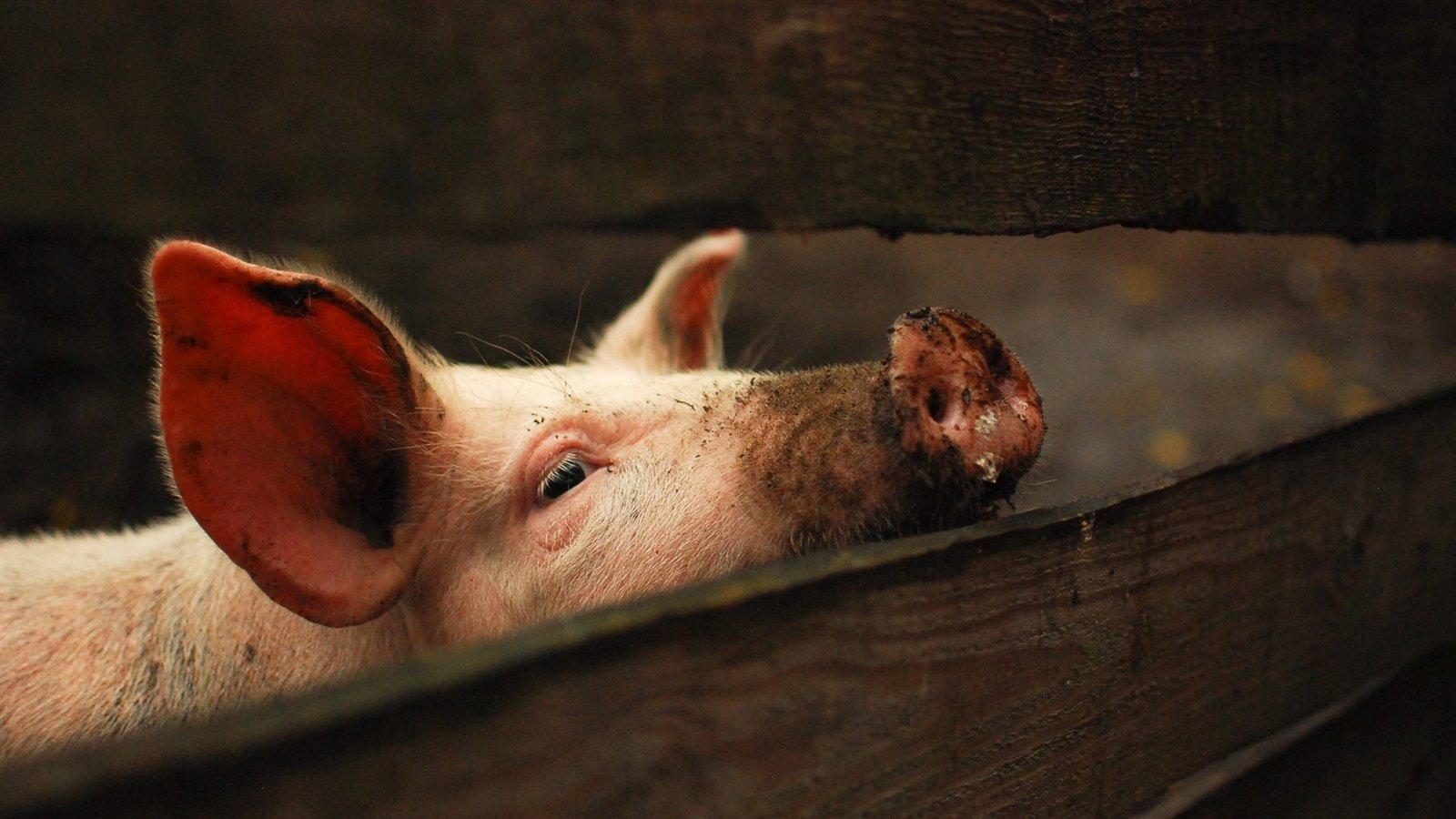 картинки с изображением свиньи на рабочий стол это важно для