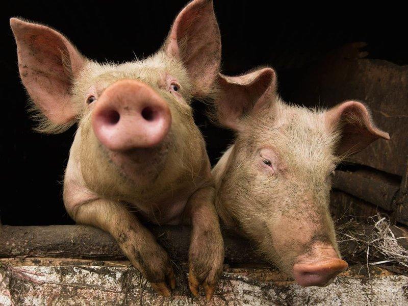 Девочки которые любят секс с домашними свиньями смотреть онлайн