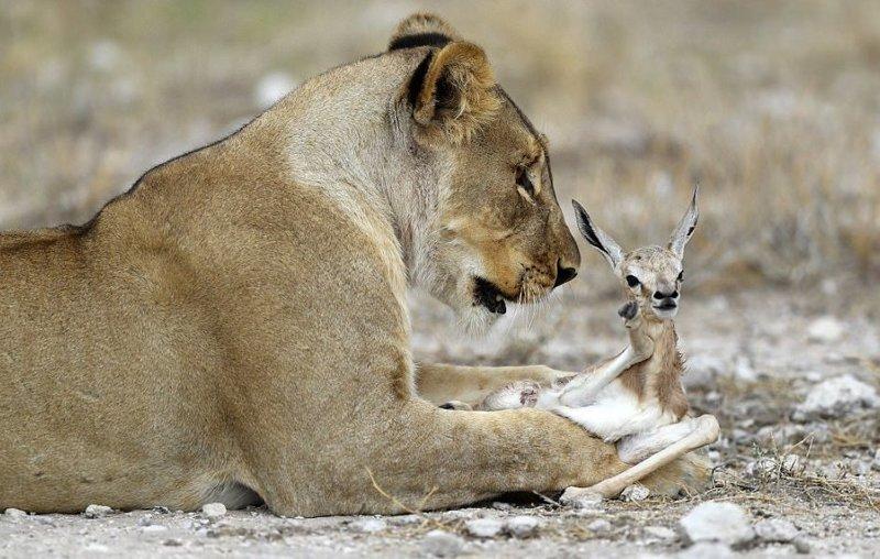Львица, потерявшая детёнышей, приютила маленькую антилопу антилопа, добро, животные, львица, милота