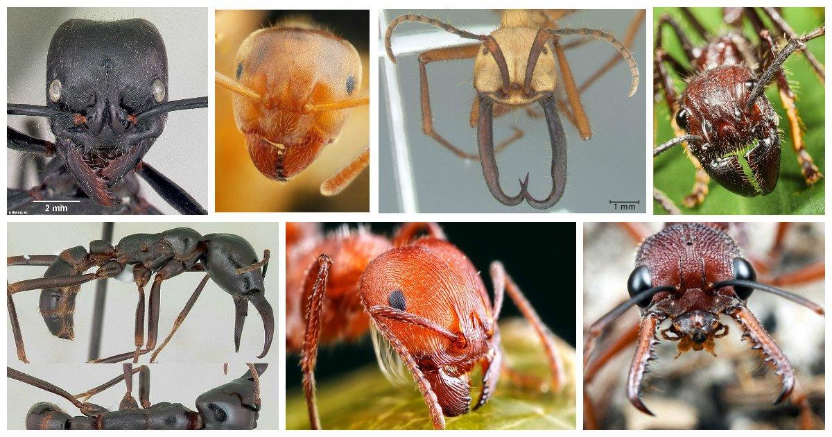 Мелкие монстры - самые опасные муравьи в мире