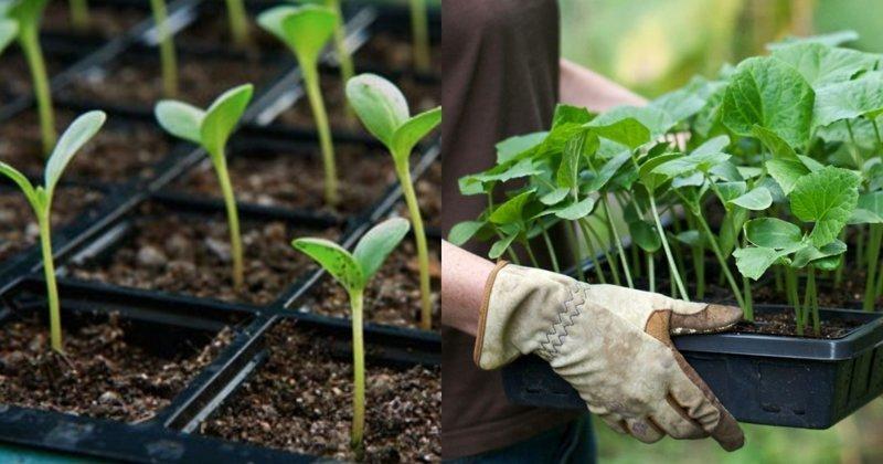 10 неочевидных ошибок, которых лучше избежать при выращивании рассады дача, овощи, огород, растения, советы, урожай