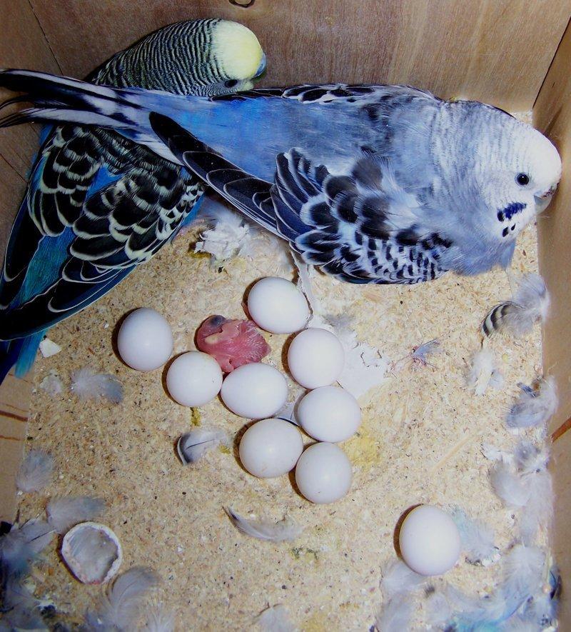 Волнистые попугайчики интересные факты