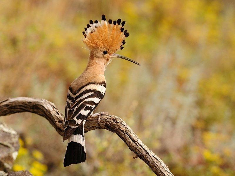 Ещё немного фото животные, интересно знать, птицы, удод, факты