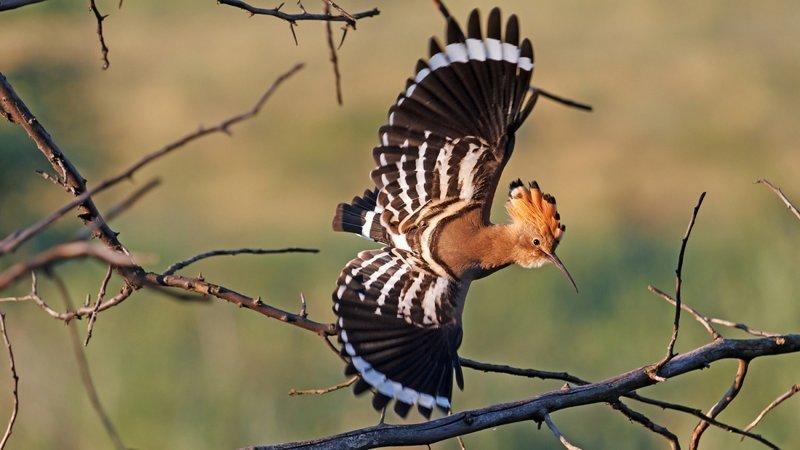 Удод и интересные факты о нём животные, интересно знать, птицы, удод, факты