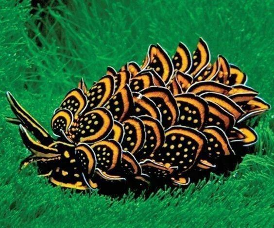 Черно-золотой морской слизень животные, природа, странные, удивительное, чудо