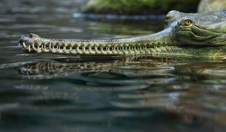 Гангский гавиал — крупное пресмыкающееся отряда крокодилов. Название происходит от искажённого хинди घड़ियाल, что означает просто «крокодил». Гавиал является уникальным животным среди современных крокодилов животные, природа, странные, удивительное, чудо