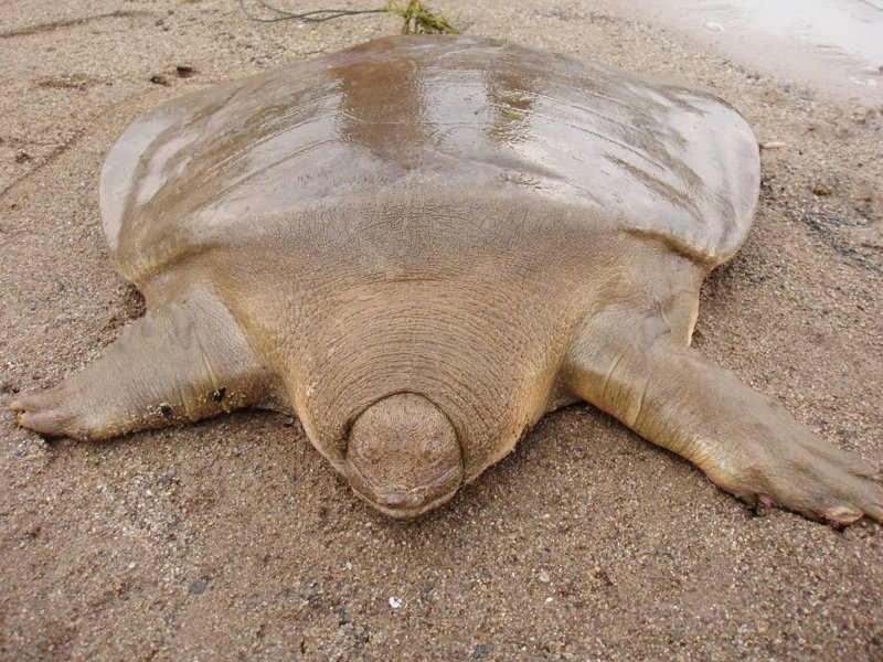 Pelochelys cantorii — вид трёхкоготных черепах животные, природа, странные, удивительное, чудо