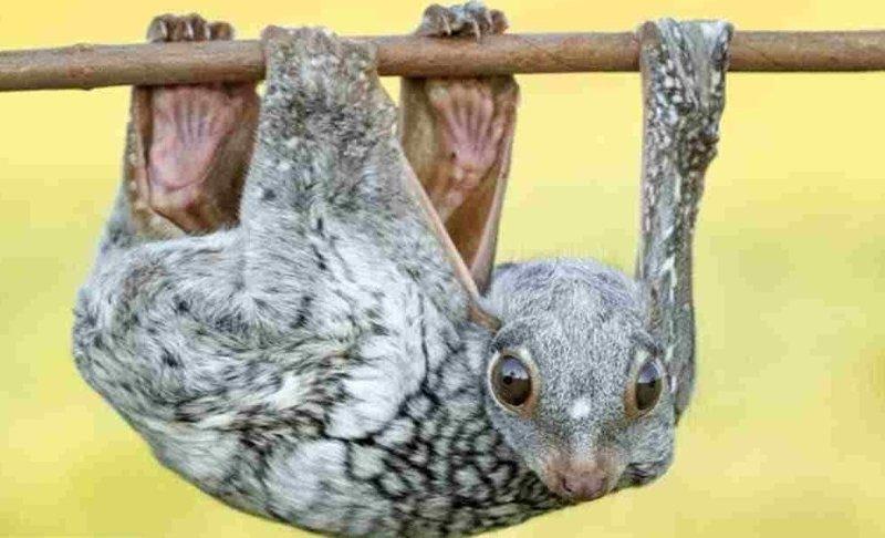 Малайский шерстокрыл — вид млекопитающих из отряда шерстокрылов, единственный в роде Galeopterus животные, природа, странные, удивительное, чудо
