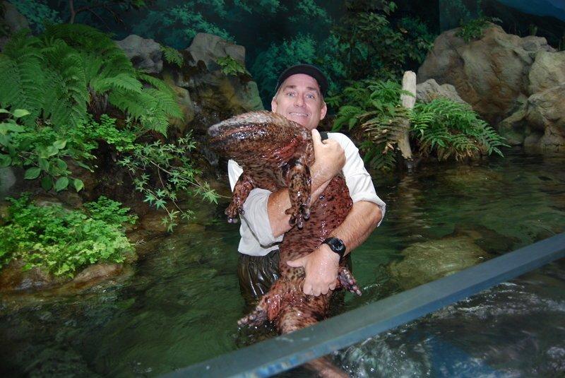 Китайская исполинская саламандра (лат. Andrias davidianus) — самое крупное современное земноводное. Длина тела с хвостом до 180 см, масса — до 70 кг. животные, природа, странные, удивительное, чудо