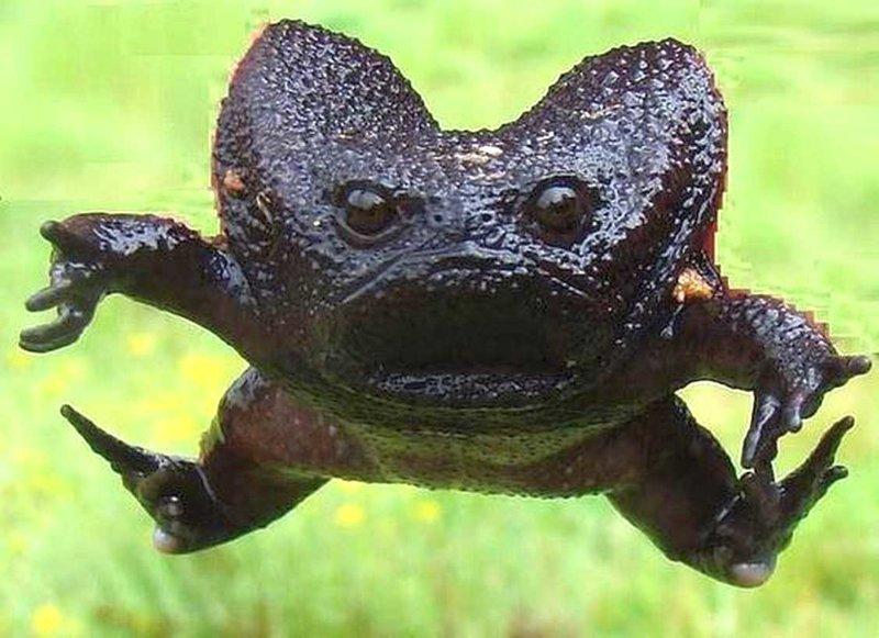 Лягушка Breviceps fuscus или черная водяная лягушка, обитает в Африке животные, природа, странные, удивительное, чудо
