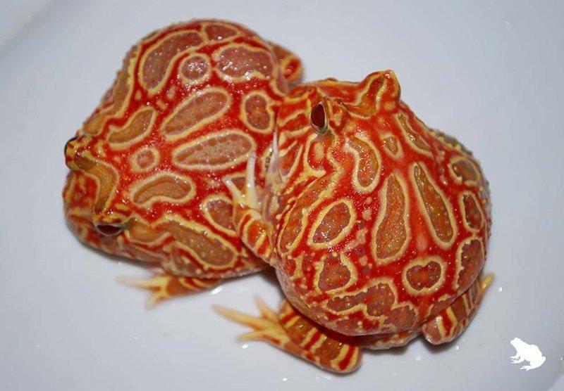 Еще лягушки - Клубнично-анансовая  лягушка-пакман (Strawberry pineapple pacman frog.) животные, природа, странные, удивительное, чудо