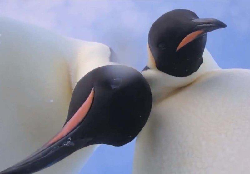 Увлеченная позированием пара сдобных пингвинов попала на видео
