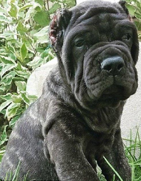 Самый большой щенок в мире живет в Юте американский молосс, гигантская собака, животные, молоссы, новая порода, самый крупный, собаки, щенок