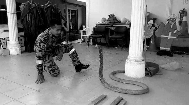 Смертельный поцелуй: «Заклинатель змей» погиб от укуса кобры в мире, животные, змея, кобра. укус, люди, риск