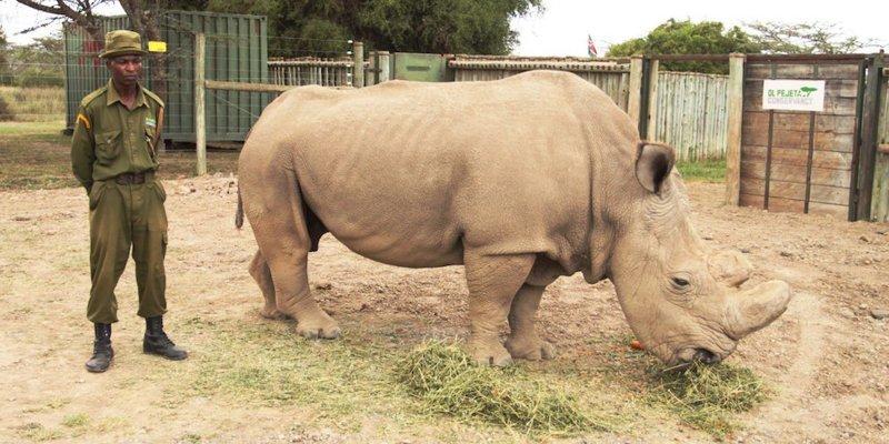 Единственного северного белого носорога спасли от мучений, усыпив его ynews, Браконьеры, белый носорог, животные, интересное, носорог, фото