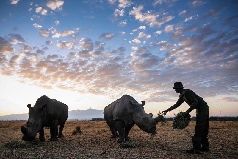 Самки Наджин и Фату ynews, Браконьеры, белый носорог, животные, интересное, носорог, фото