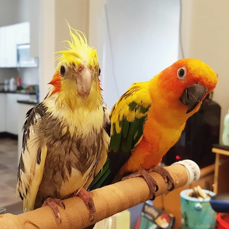 Австралийка покрасила волосы в цвет своего попугая, и это может стать трендом в мире, волосы, животные, история, люди, попугай, цвет