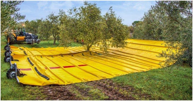 Сбор урожая оливок в промышленных масштабах  в мире, видео, интересное, оливки, сбор, техника, урожай