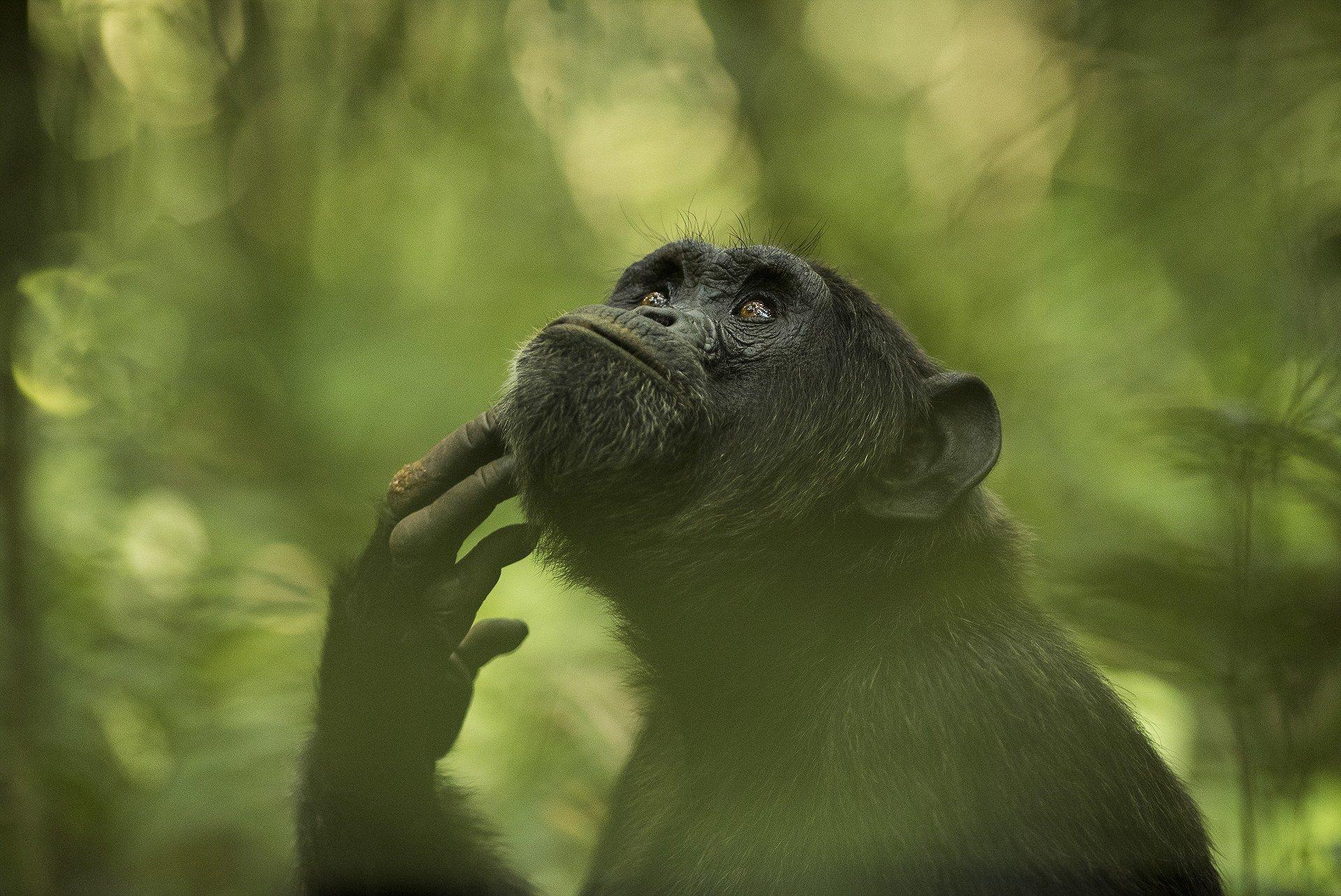 Шимпанзе в лесу Кибале, Уганда. Фотограф - Ингрид Векеманс Sony World Photography, Sony World Photography Awards 2018, лауреаты, лучшие фото, лучшие фотографии, победители, победители конкурса, фотоконкурс