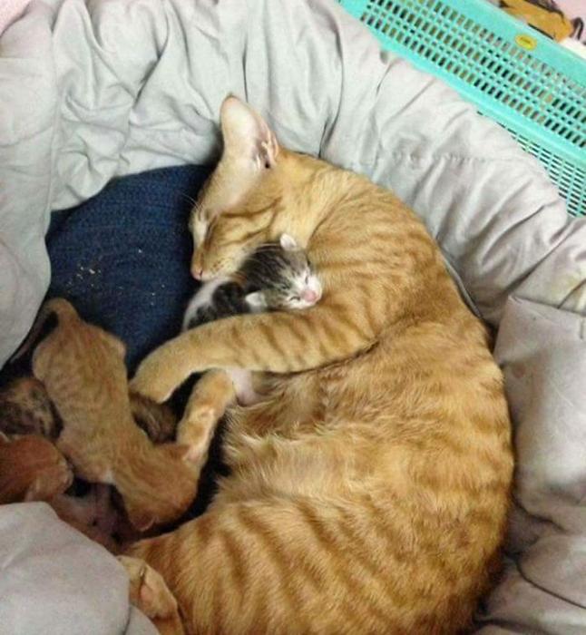 Заботливый и любящий родитель. Мама в любой момент может рассчитывать на помощь. история, кошки, фотографии