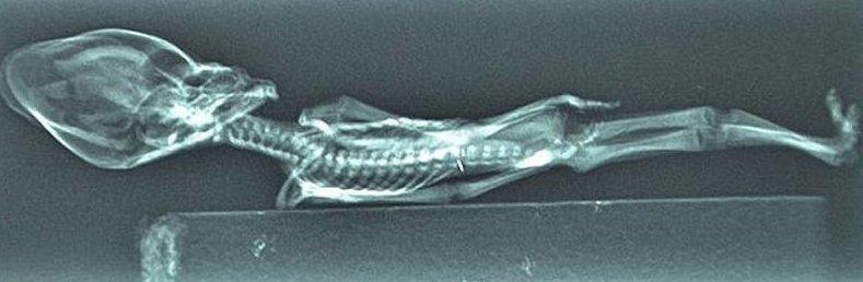 Анализ ДНК раскрыл трагическую тайну маленького «инопланетянина» из Атакамы анализ, в мире, инопланетянин, наука, тайна, ученные