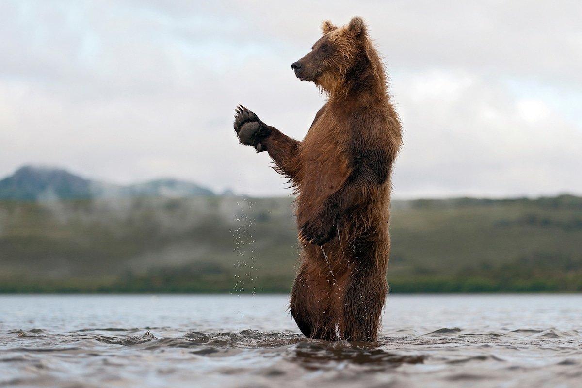 интересуется картинки камчатский медведь единственный