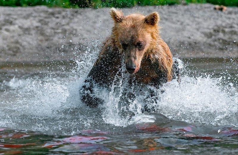 Бурые медведи Камчатки глазами фотографа Сергея Горшкова животные, звери, камчатка, красота, медведь, мишка, природа, фотограф