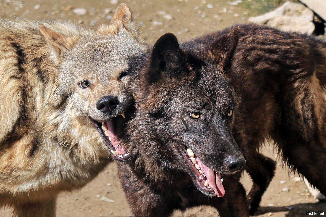карнизы называются канадский волк фото удалось одержать победу