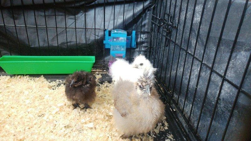 Подарили нам значит кур, домой, в квартиру. Прошла неделя, первые впечатления Animalistics, анималистика, животные, курица, питомец