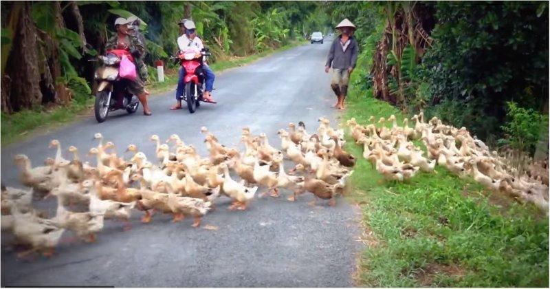 Уткопровод прорвало! Вьетнам, видео, животные, прикол, ржач, утки, юмор