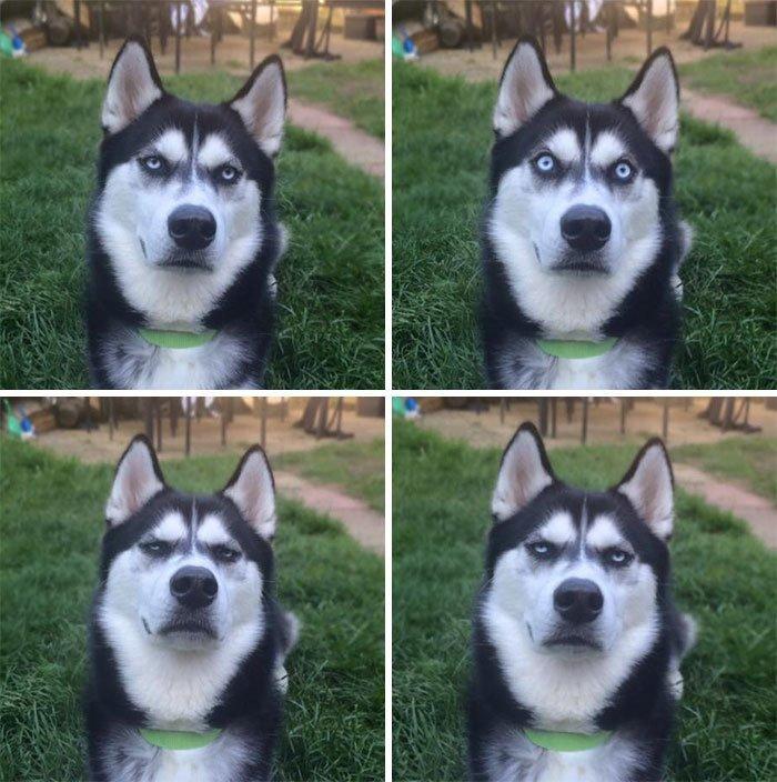"""5. """"Я сделала вид, что кидаю мяч и сфотографировал пса, поймав тот самый момент, когда он понял, что я его обманула"""" животные, забавно, питомцы, приколы, собаки, фото, хаски, юмор"""