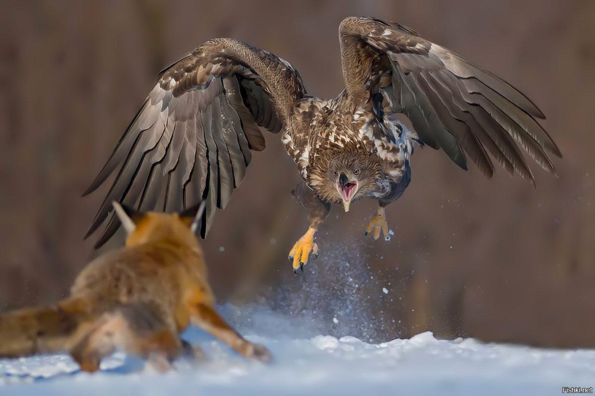 все картинки орел и лиса как