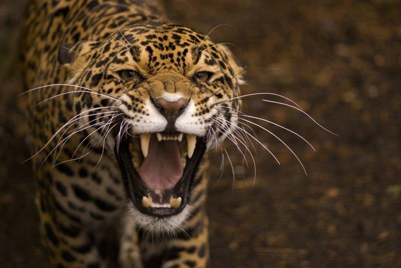 a39996d4e1c1 Леопард нарвался не на того человека