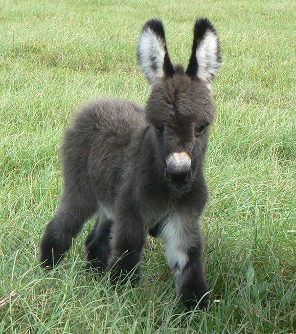 Пушистое очарование Ослики, детеныши, животные, мило, мимиметр, ослик, природа, фото