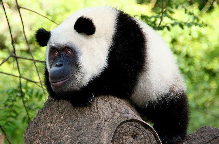 Ученым удалось скрестить орангутанга с пандой 1 апреля, животные, наука
