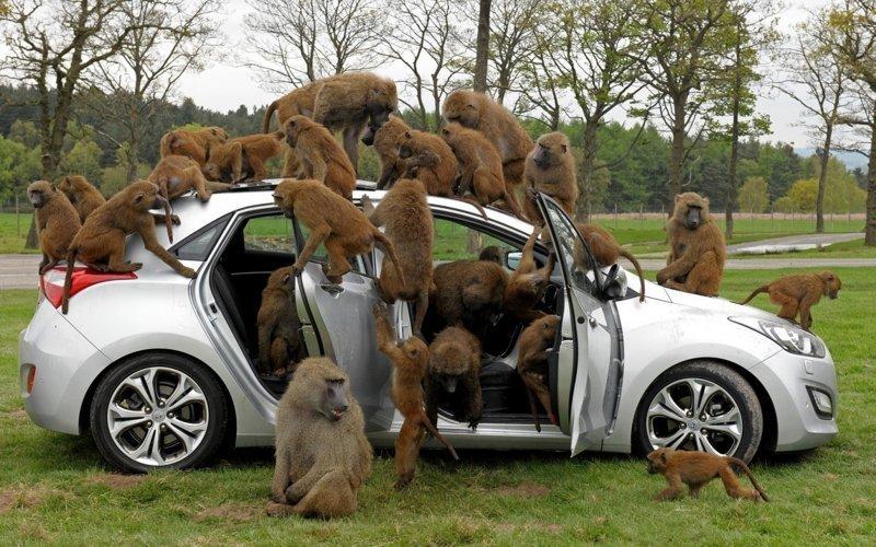 Не подпускайте к автомобилю животных авто, автомобилисты, морю, нелепые фото, прикол, случаи, фото